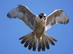 Image of Peregrines.png